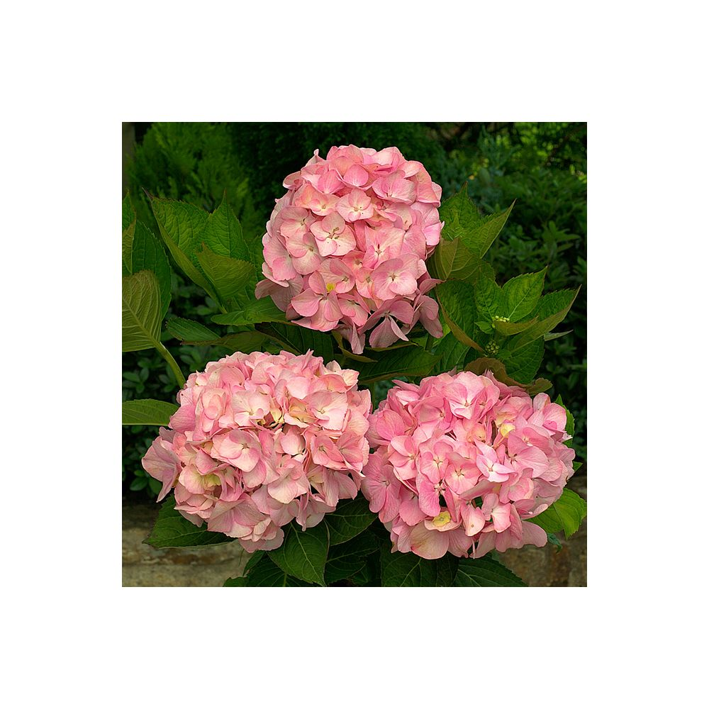 Hortensia 'Madame Plumecoq' (Collection 1900)