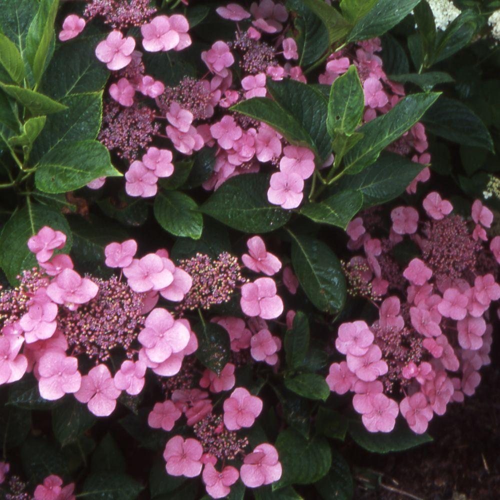 Hortensia 39 mousm e 39 pot de 3 litres 5 7 branches gamm vert - Maladie des hortensias photos ...