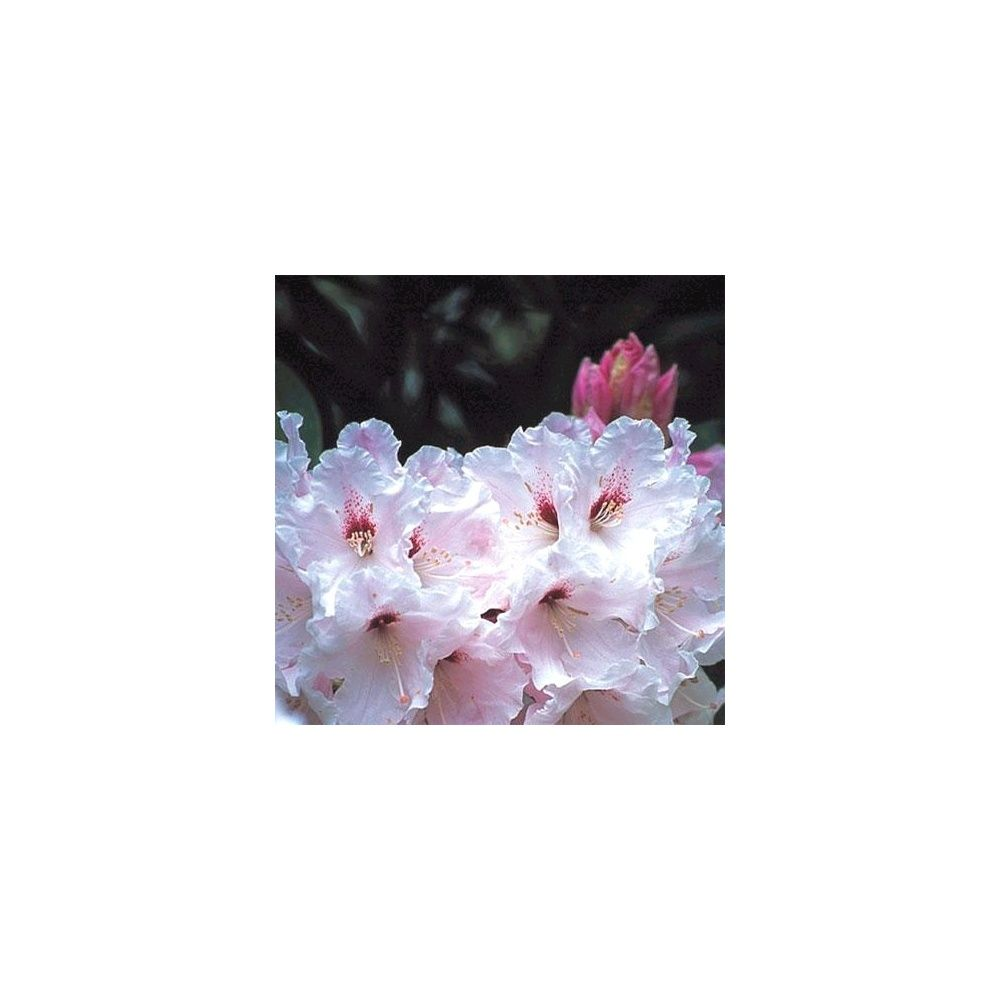 Rhododendron 'Loderi King Georges'