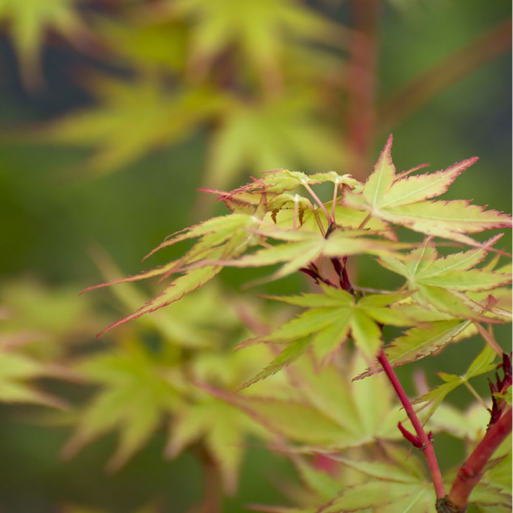 Erable du Japon 'Senkaki'