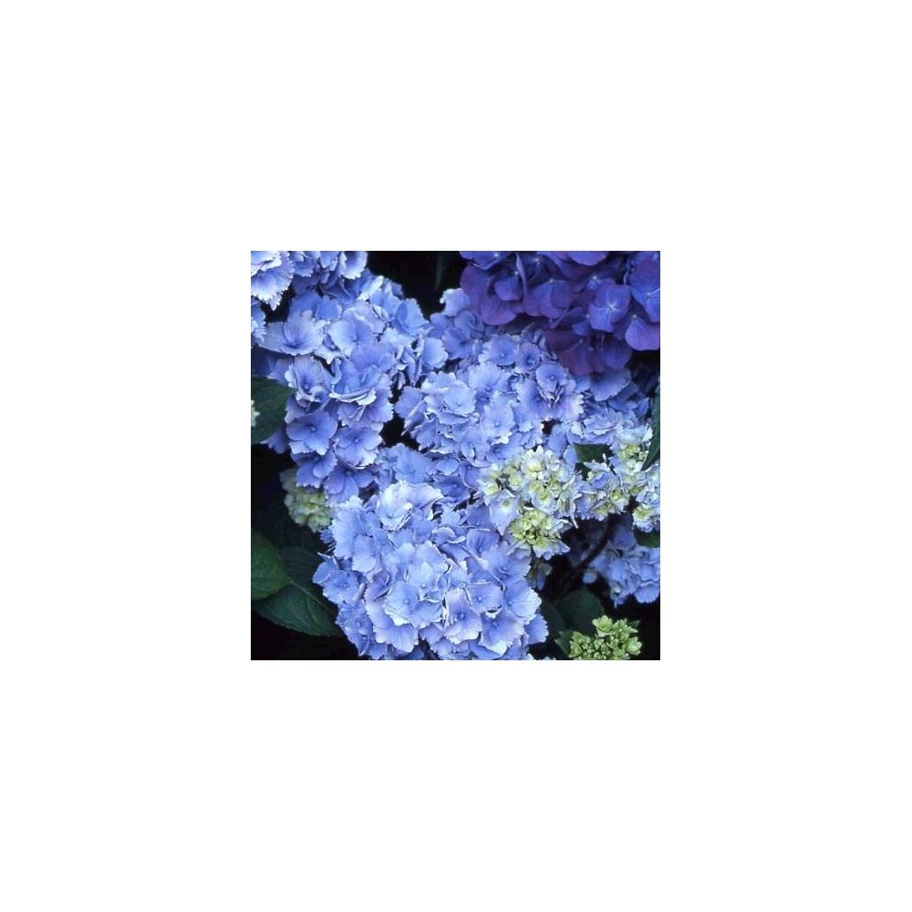 Hortensia 'Amethyst' (Collection 1900)