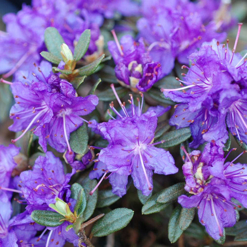 Rhododendron nain 'Azurika'