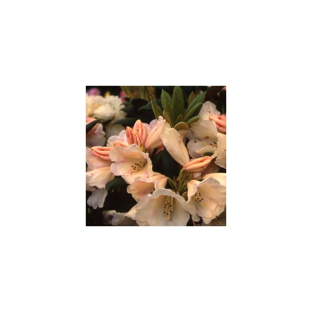 Rhododendron yak 'Grumpy'