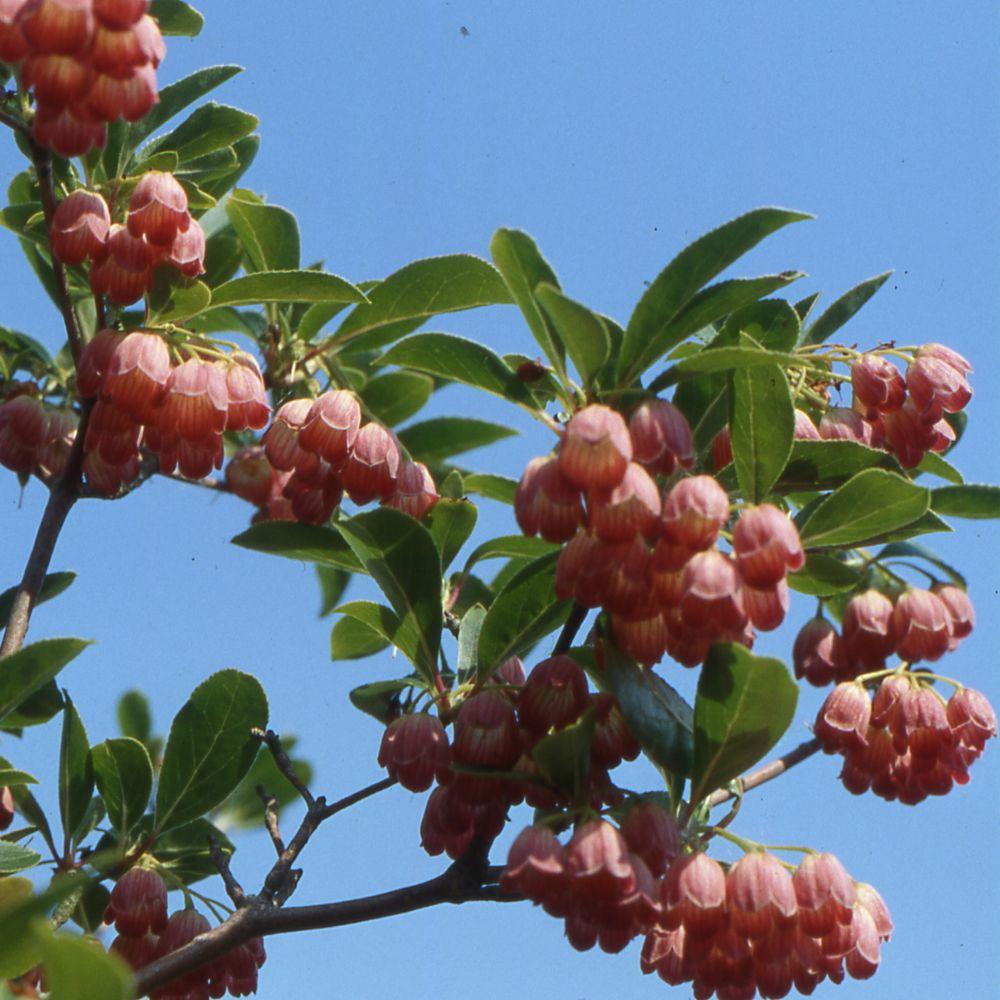 Enkianthus à fleurs de campanule 'Red Bells'