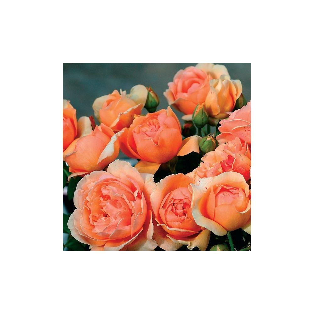 Rosier Generosa ® 'Nicole Mioulane ®' – Rosier Guillot
