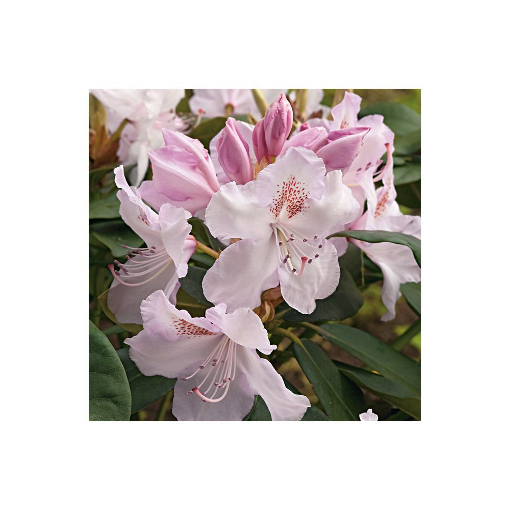 Rhododendron 'Mrs Charles Pearson'