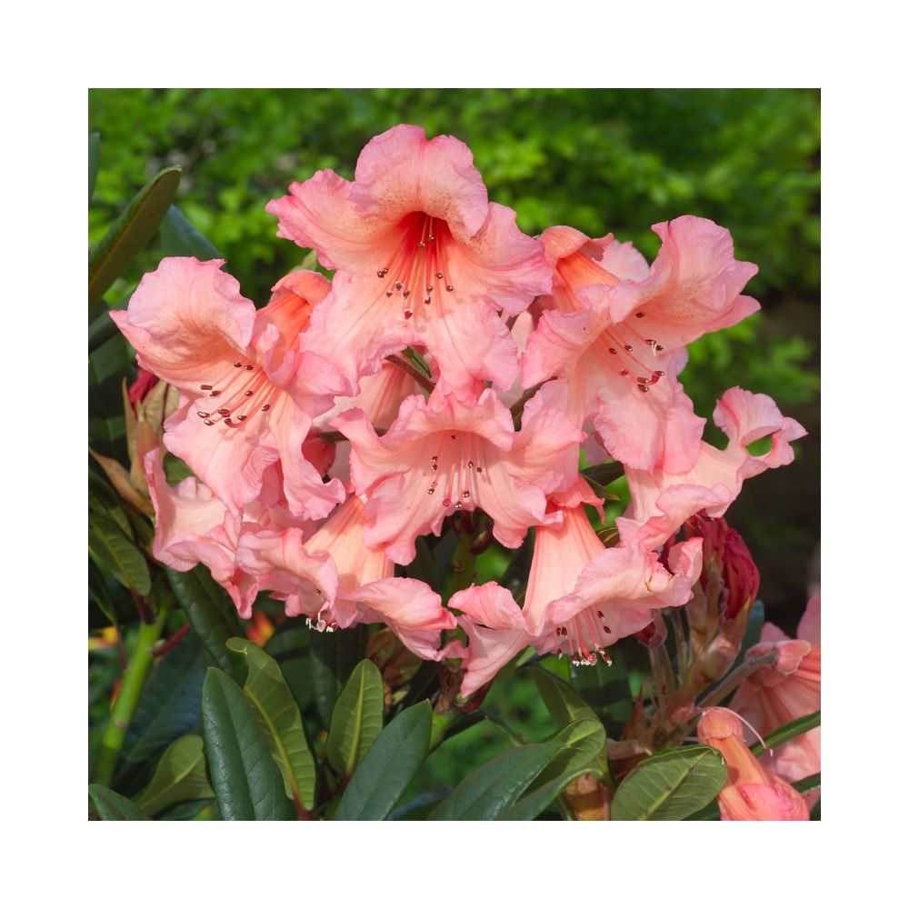 Rhododendron 'Tortoiseshell'
