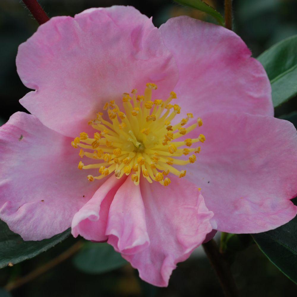Camélia d'automne 'Plantation Pink'
