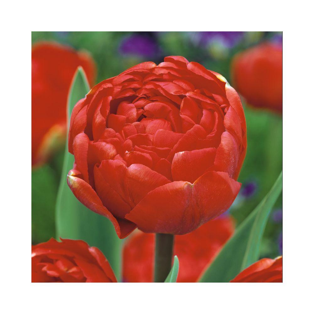 Tulipe 'Miranda'