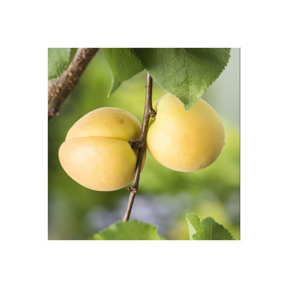 tailler un abricotier cool la taille des arbres fruitiers noyaux with tailler un abricotier. Black Bedroom Furniture Sets. Home Design Ideas