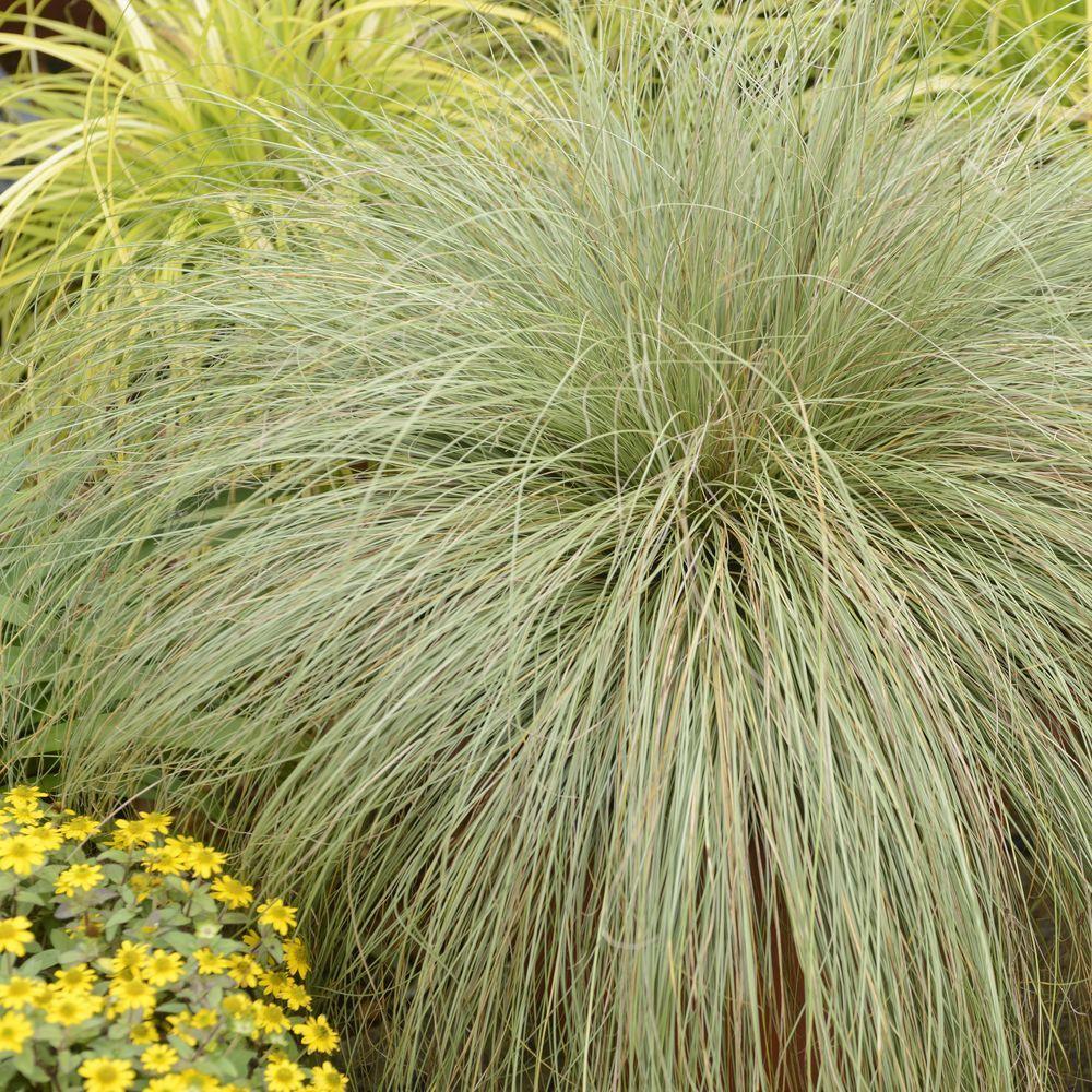 Carex comans frosted curls