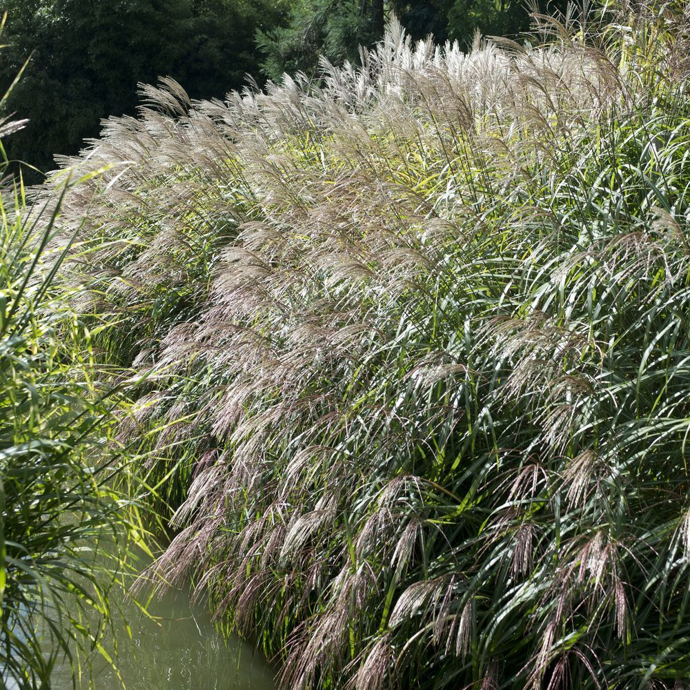 miscanthus sinensis gracillimus lot de 3 godets de 7 cm. Black Bedroom Furniture Sets. Home Design Ideas