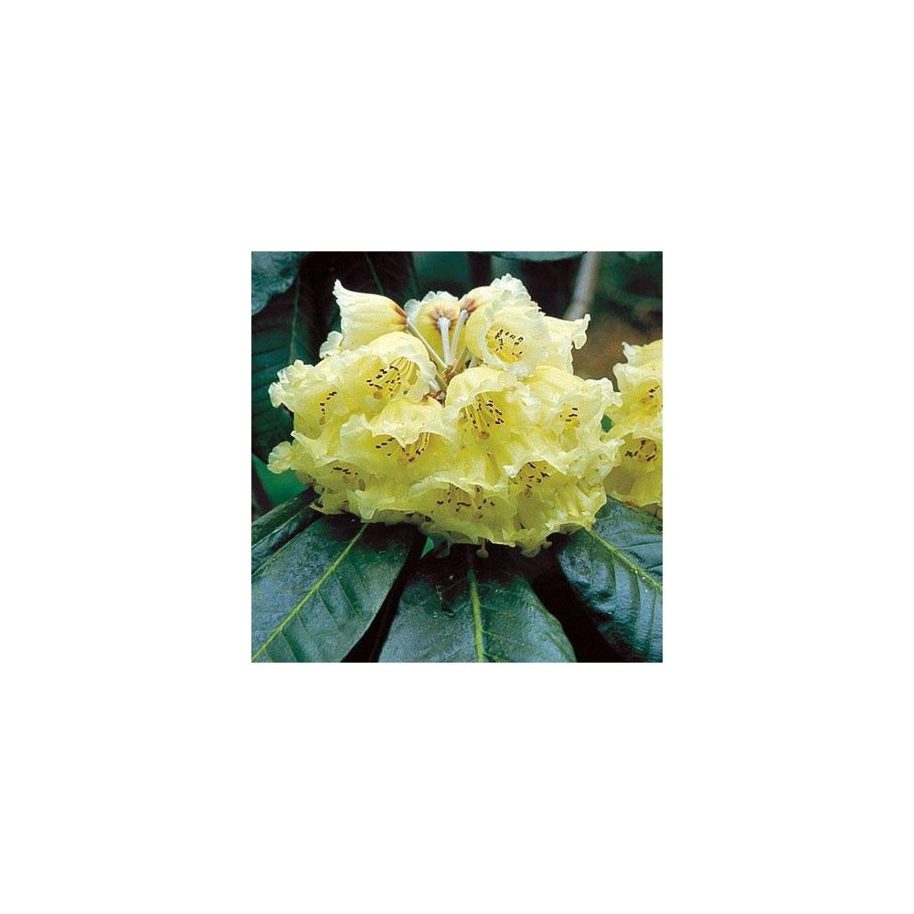 Rhododendron maccabeanum