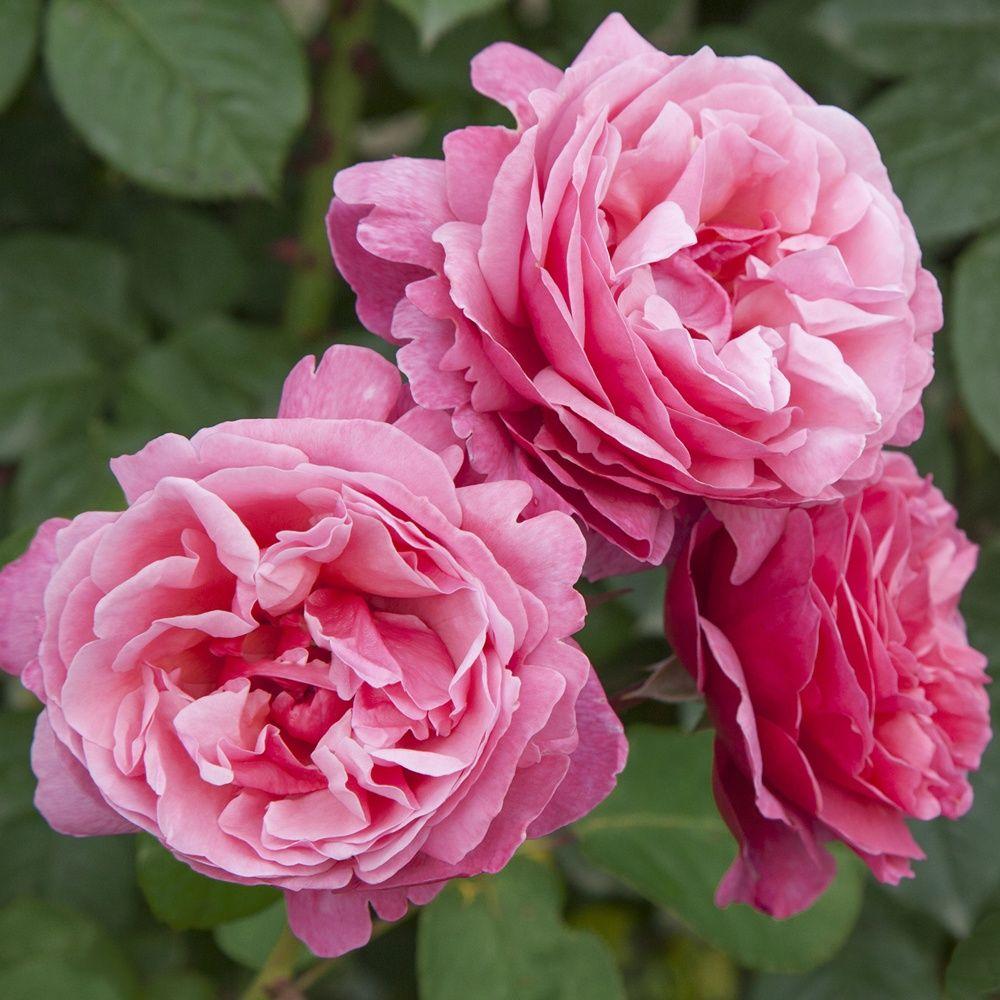 Rosier 'Line Renaud ®' Meiclusif – Rosier Meilland