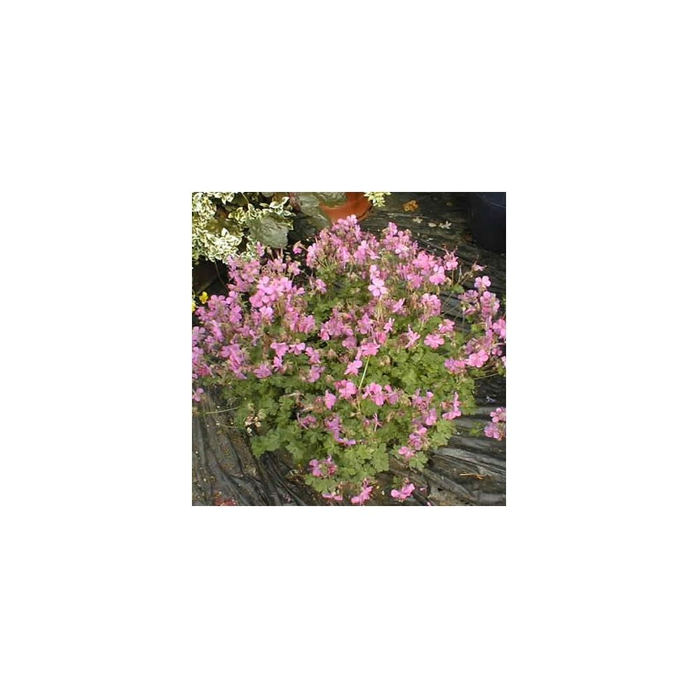 Geranium vivace rose vif 'Westray'