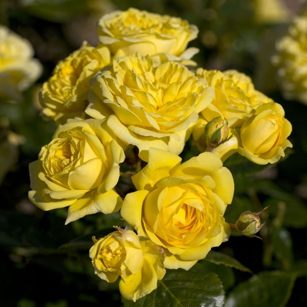 Rosier 'Anny Duperey ®' Meitongas – Rosier Meilland