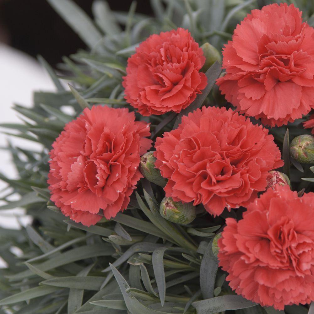 Dianthus plumarius diane