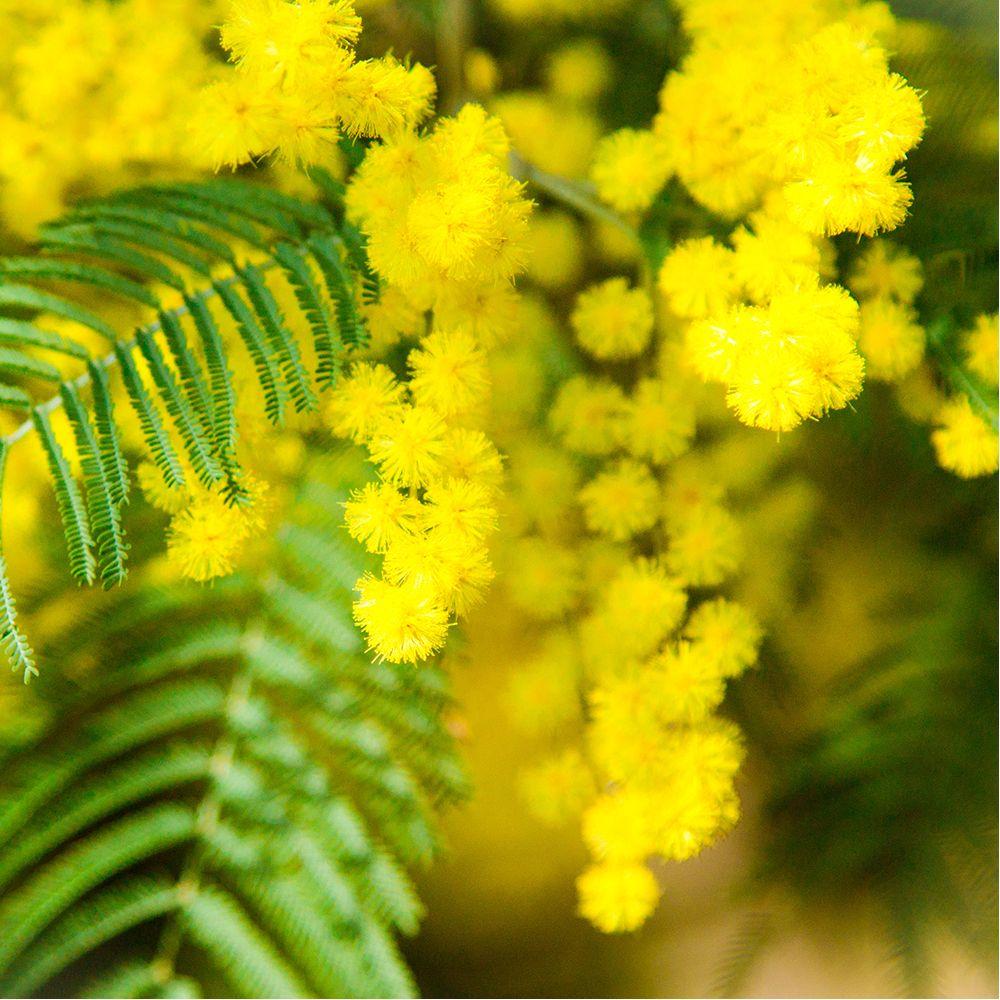 mimosa d 39 hiver 39 le gaulois 39 pot de 4 litres jaune gamm vert. Black Bedroom Furniture Sets. Home Design Ideas