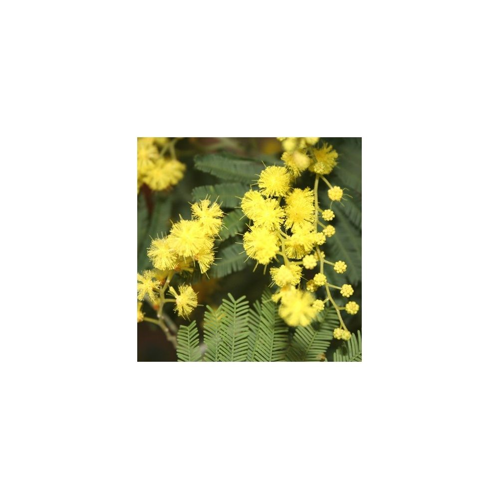 Mimosa 'Le Gaulois Astier'