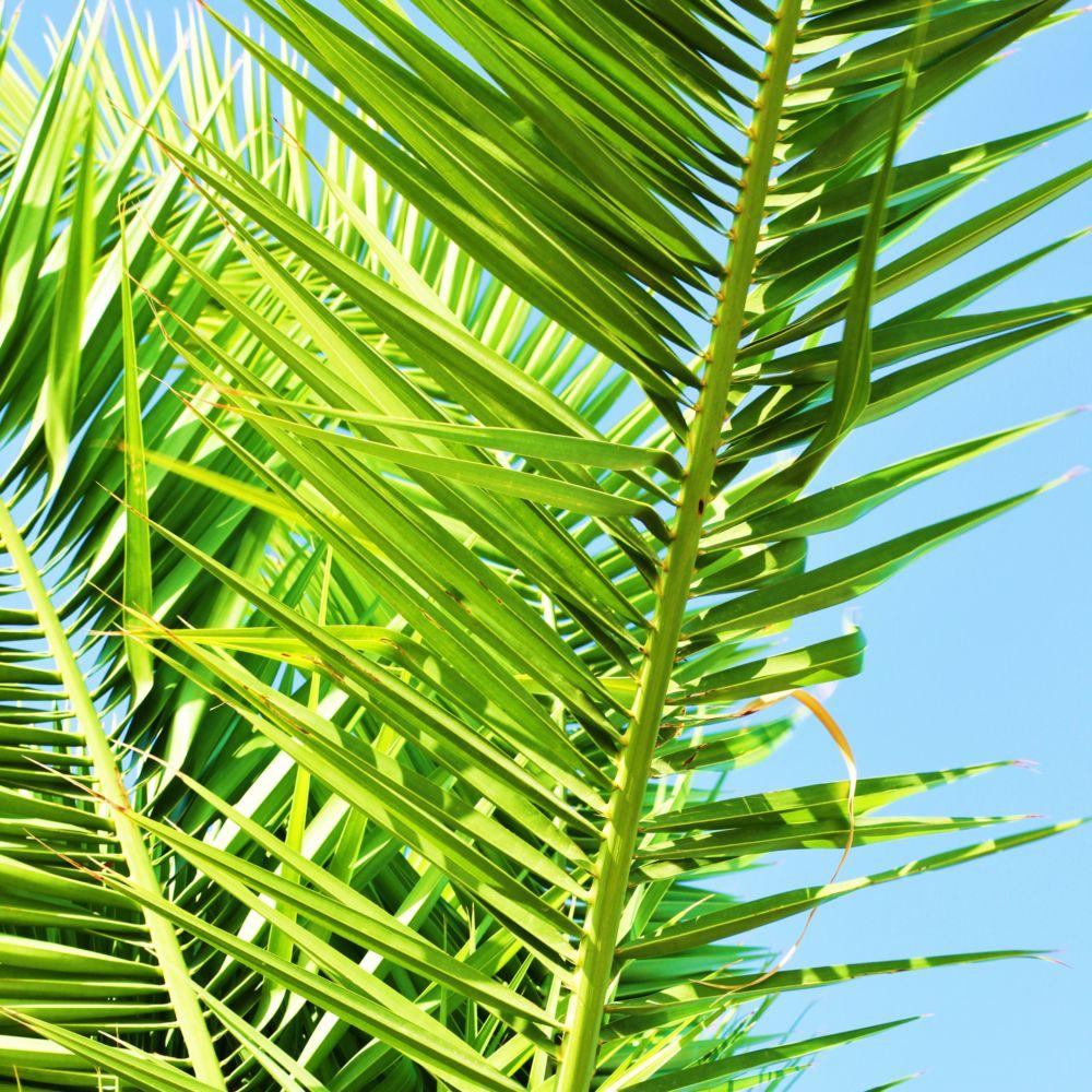 Palmier Phoenix des canaries