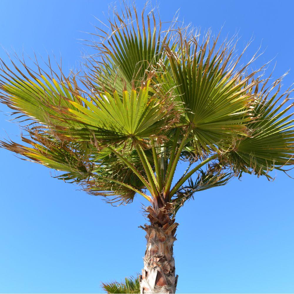 Trachycarpus palmier chanvre pot de 3 litres hauteur for Palmier dans pot