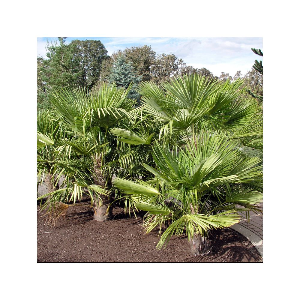 trachycarpus palmier chanvre pot de 3 litres hauteur 45 50 cm gamm vert. Black Bedroom Furniture Sets. Home Design Ideas
