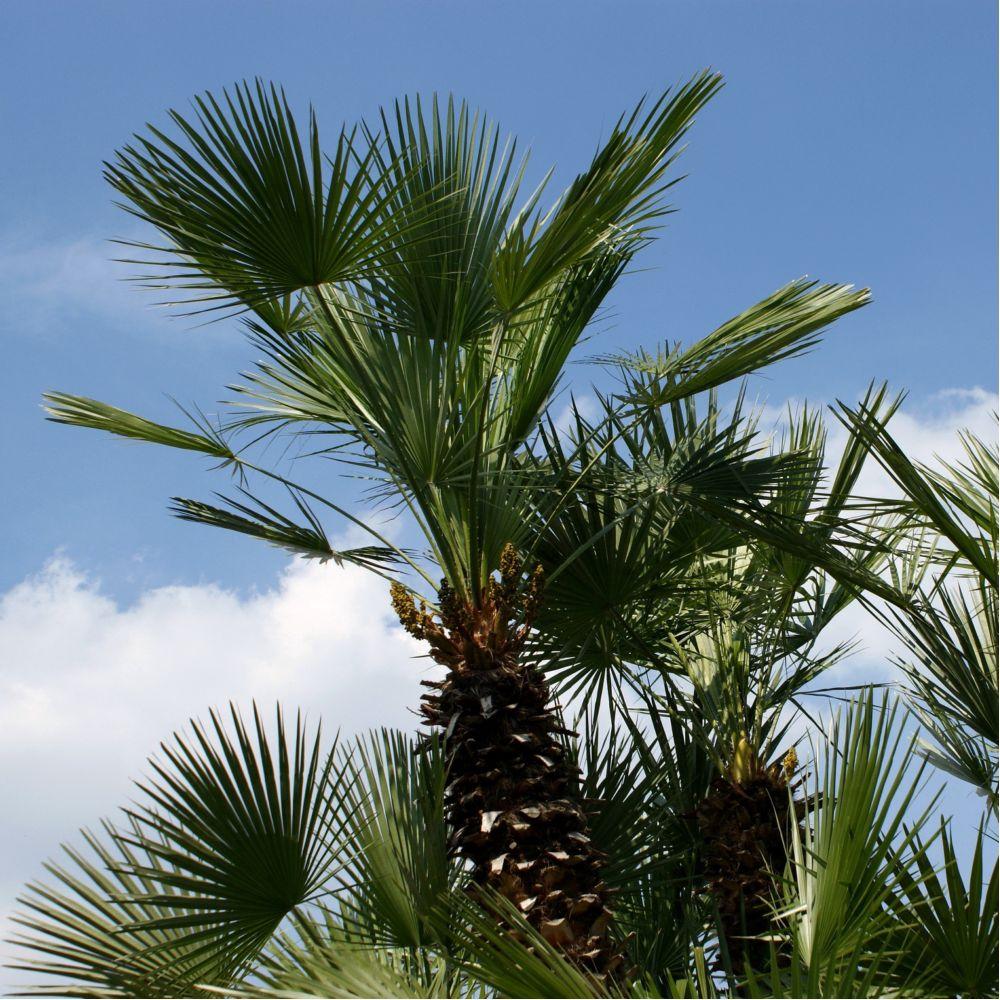 palmier 80/100