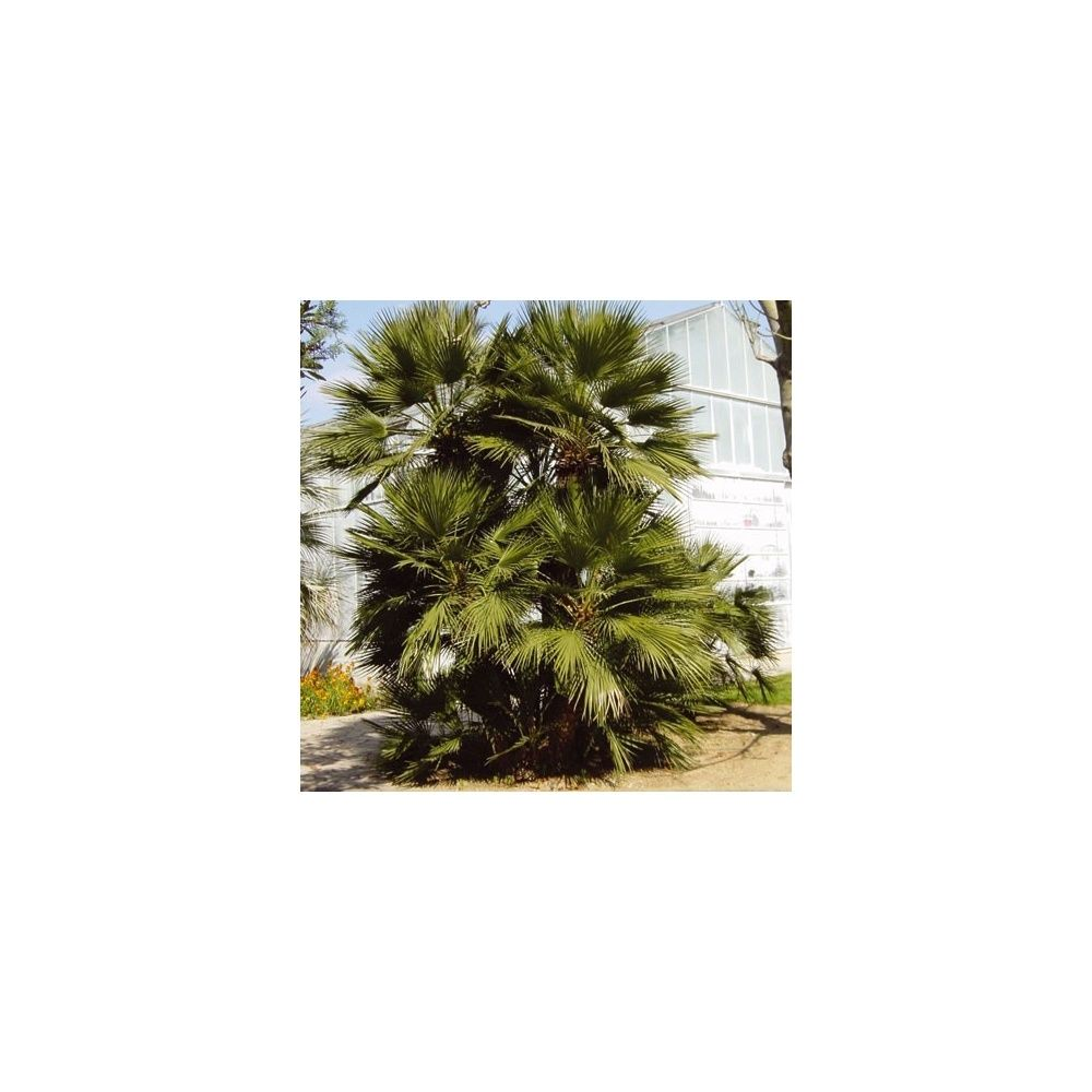 palmier nain chamaerops humilis pot de 7 litres hauteur 50 60 cm gamm vert. Black Bedroom Furniture Sets. Home Design Ideas