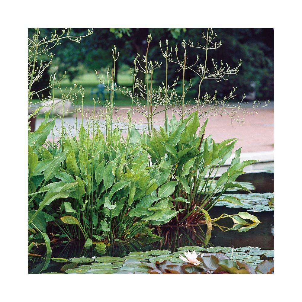 Plante aquatique Alisma plantago – Plantain d'eau