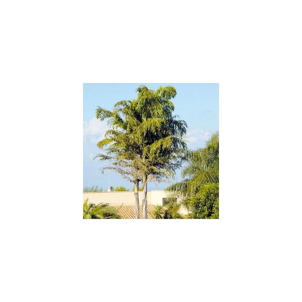 palmier australien 6 lettres