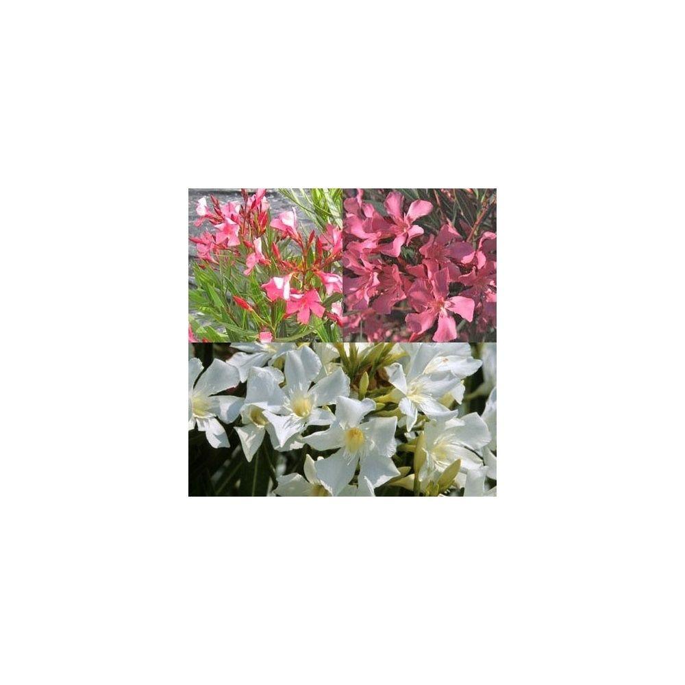 Traitement des lauriers roses laurierrose rouge fleur du - Engrais laurier rose ...