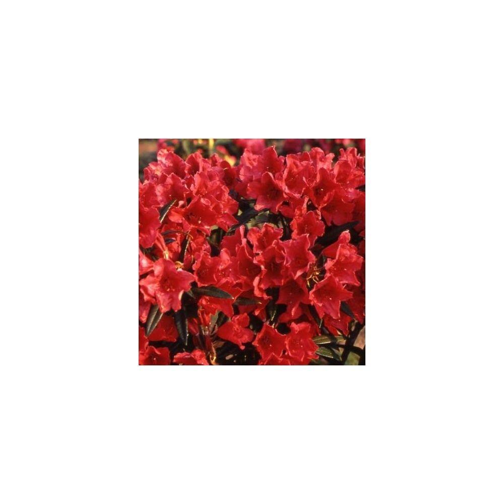 Rhododendron 'Cavalier'