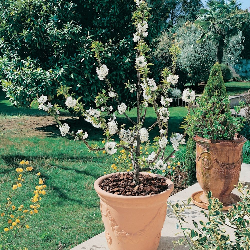 cerisier nain 39 garden bing 39 en pot en pot d co de 6 litres hauteur totale 40 60cm gamm vert. Black Bedroom Furniture Sets. Home Design Ideas