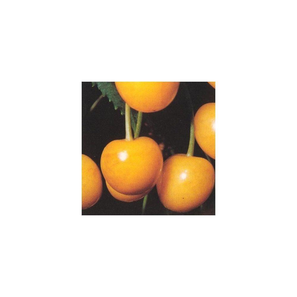 Cerisier 'Jaune de Butner': taille en gobelet