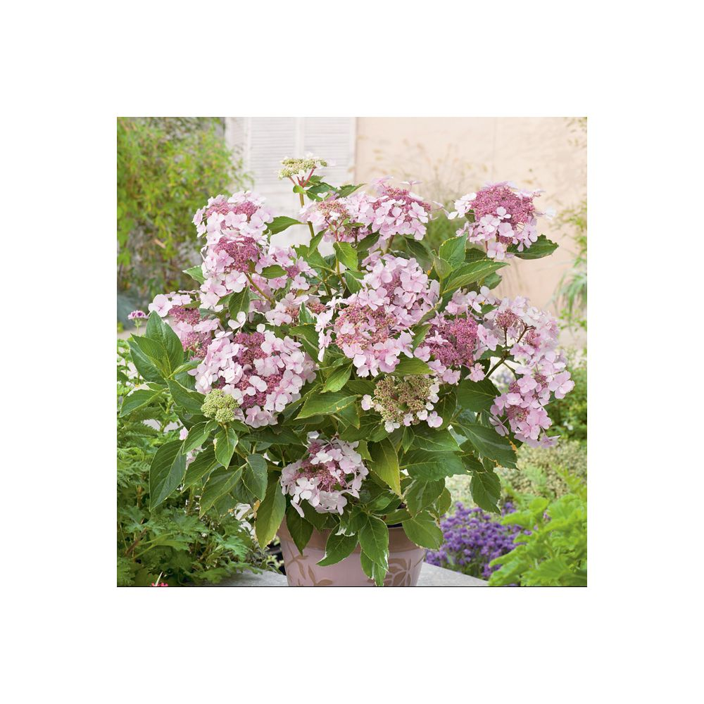 Hortensia 'Tricolor' (Collection 1900)