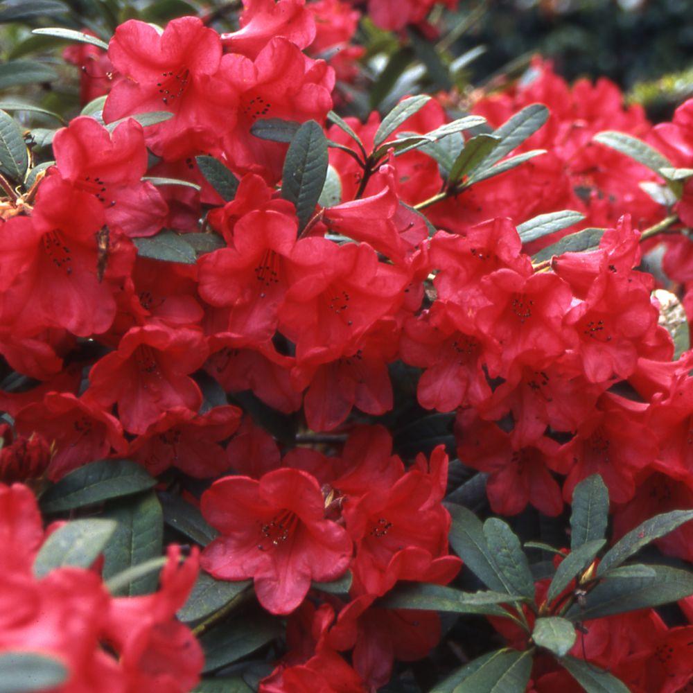 Rhododendron nain 'Elisabeth'