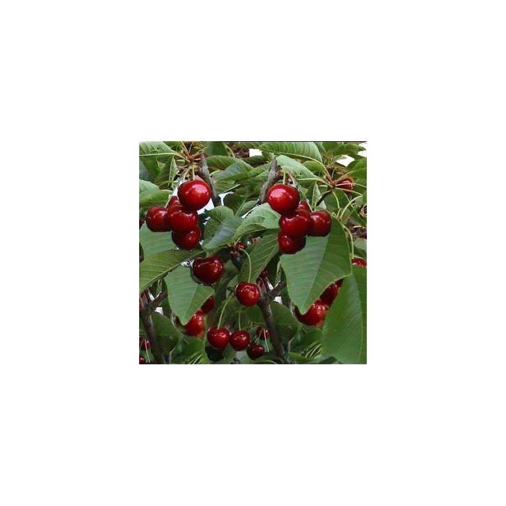 Cerisier 'Reverchon' : taille en gobelet en pot