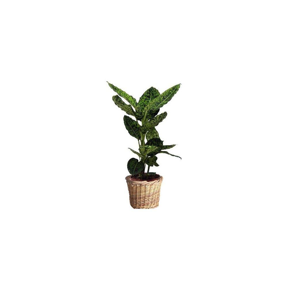 dieffenbachia reflector cache pot tress hauteur totale 70 80cm pot diam tre 19 cm cache pot. Black Bedroom Furniture Sets. Home Design Ideas