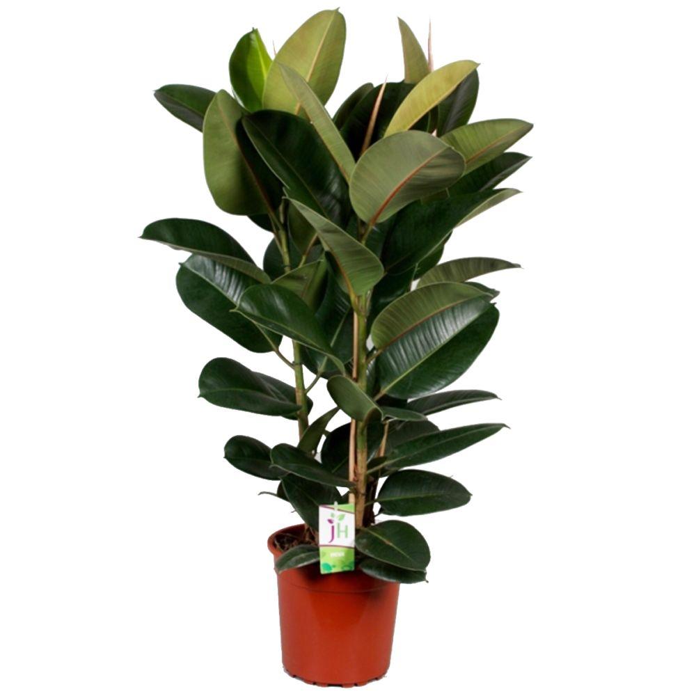 Caoutchouc ficus robusta 3 troncs en pot de 27cm for Ficus plante interieur