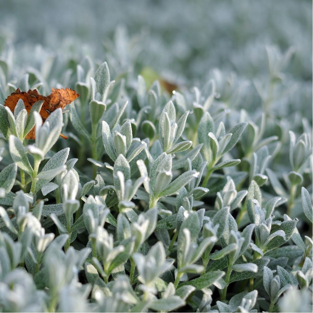 Cerastium tomentosum yo yo lot de 3 godets de 7 cm gamm vert - Plante couvre sol sans entretien ...