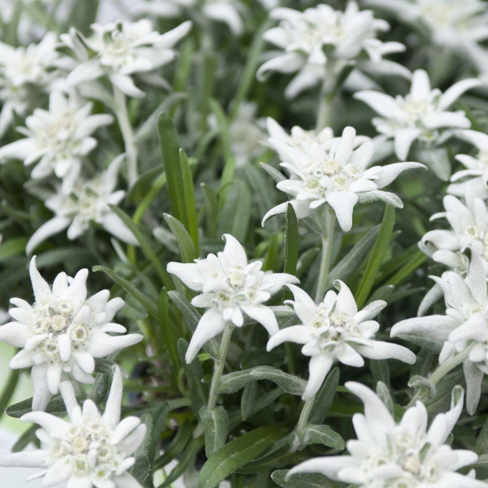 Leontopodium alpinum lot de 3 godets de 7 cm gamm vert - Coloriage fleur edelweiss ...