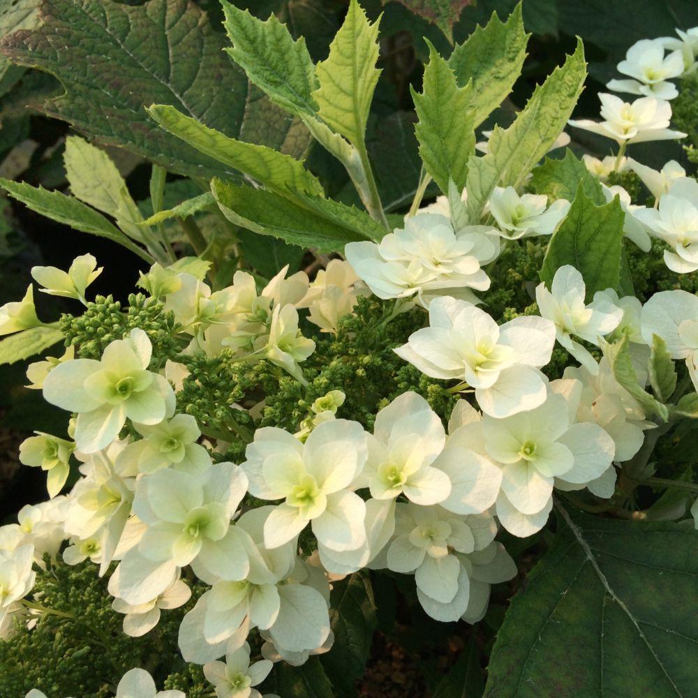 Hortensia à feuilles de chêne 'Snowflake'