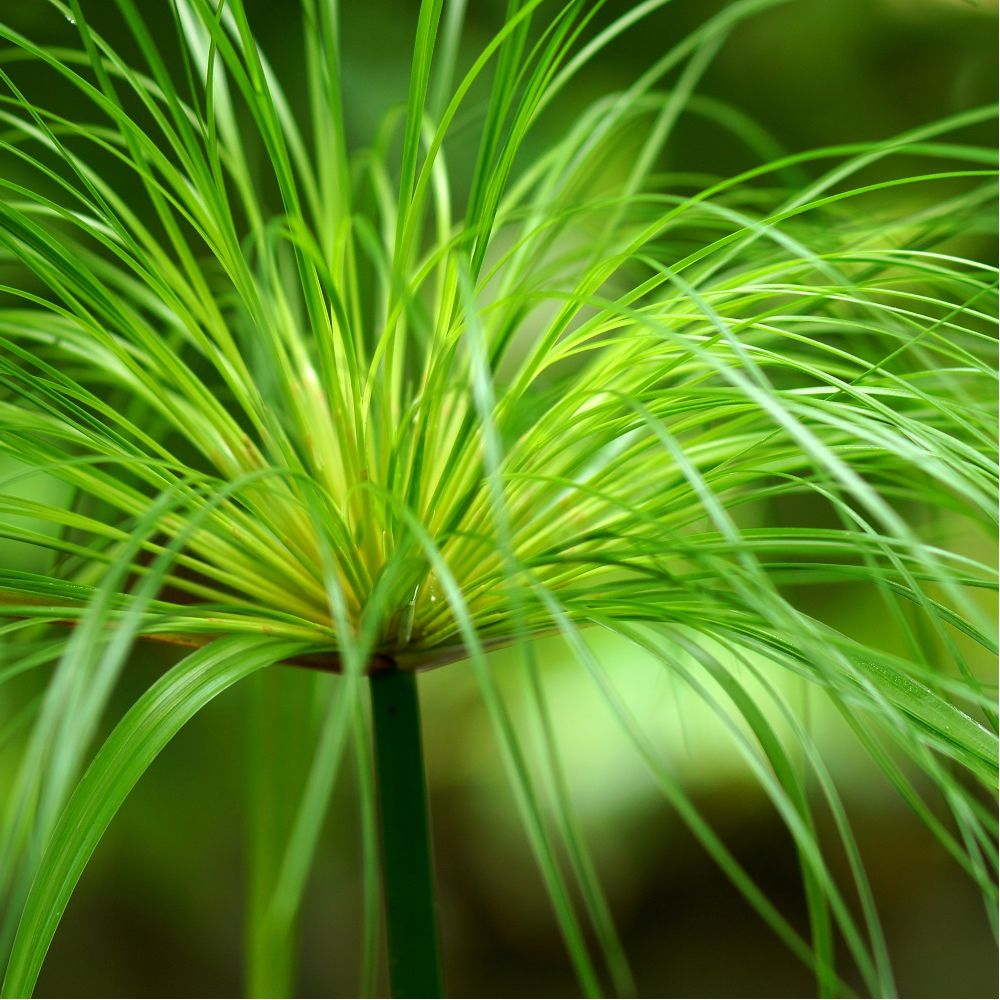 papyrus du nil pot de 2 litres hauteur 50 60cm gamm vert. Black Bedroom Furniture Sets. Home Design Ideas