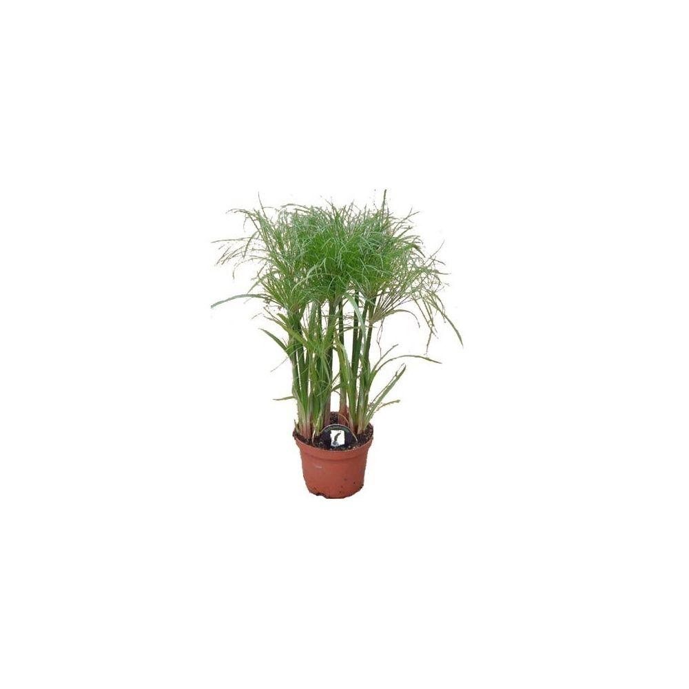 Papyrus du nil pot de 2 litres hauteur 50 60cm gamm vert for Jardin du nil red wine