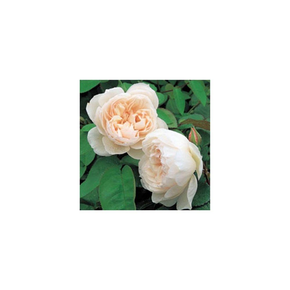 Rosier anglais 'The Generous Gardener ®'