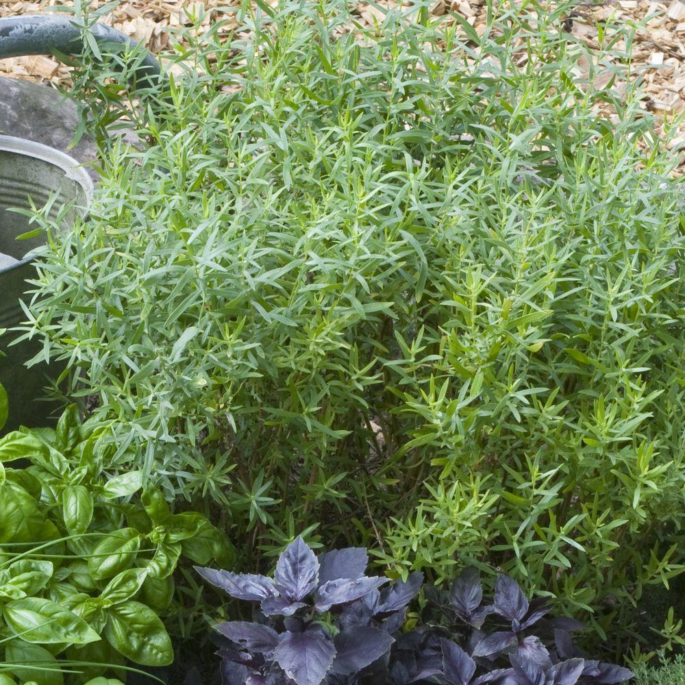 Estragon vivace lot de 3 godets de 7 cm gamm vert for Plantes et arbustes vivaces