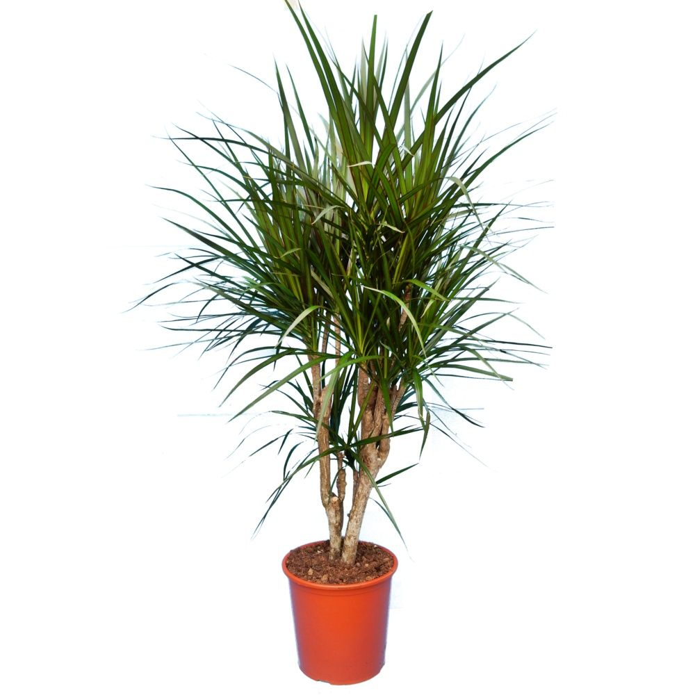 dracaena marginata ramifi en pot de 21cm hauteur 80cm gamm vert. Black Bedroom Furniture Sets. Home Design Ideas