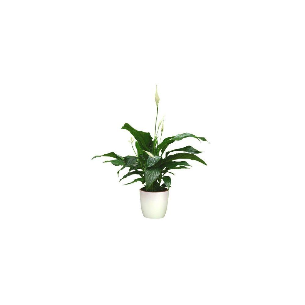 Spathiphyllum 55/60 cm + cache-pot blanc