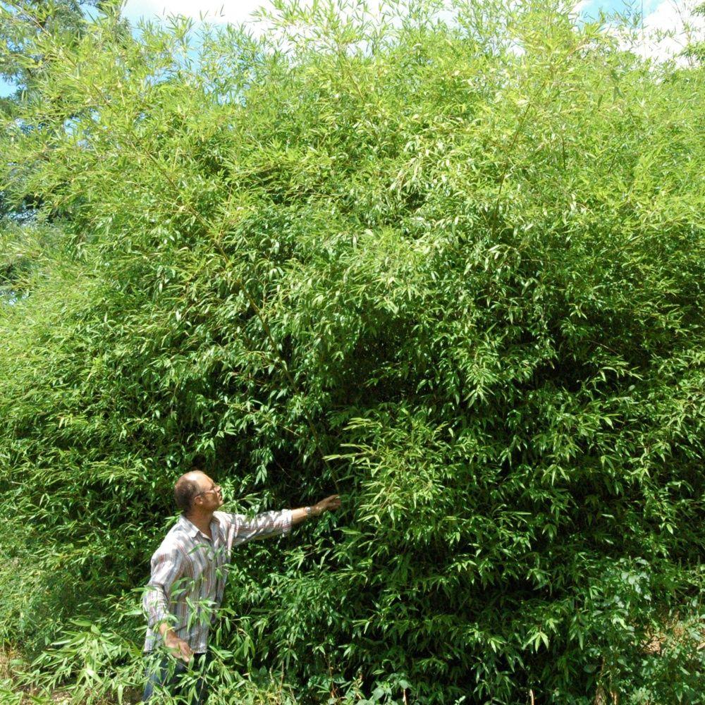 Bambou moyen phyllostachys 39 tip top 39 pot de 3 litres for Bambou moyen phyllostachys bissetii