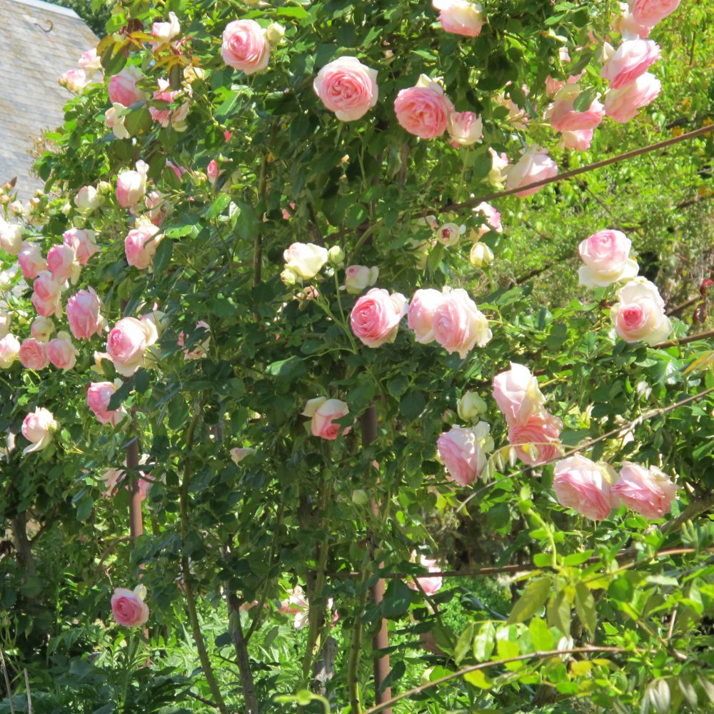 rosier grimpant upierre de ronsardu meiviolin rosier meilland with rosier pour terrasse. Black Bedroom Furniture Sets. Home Design Ideas